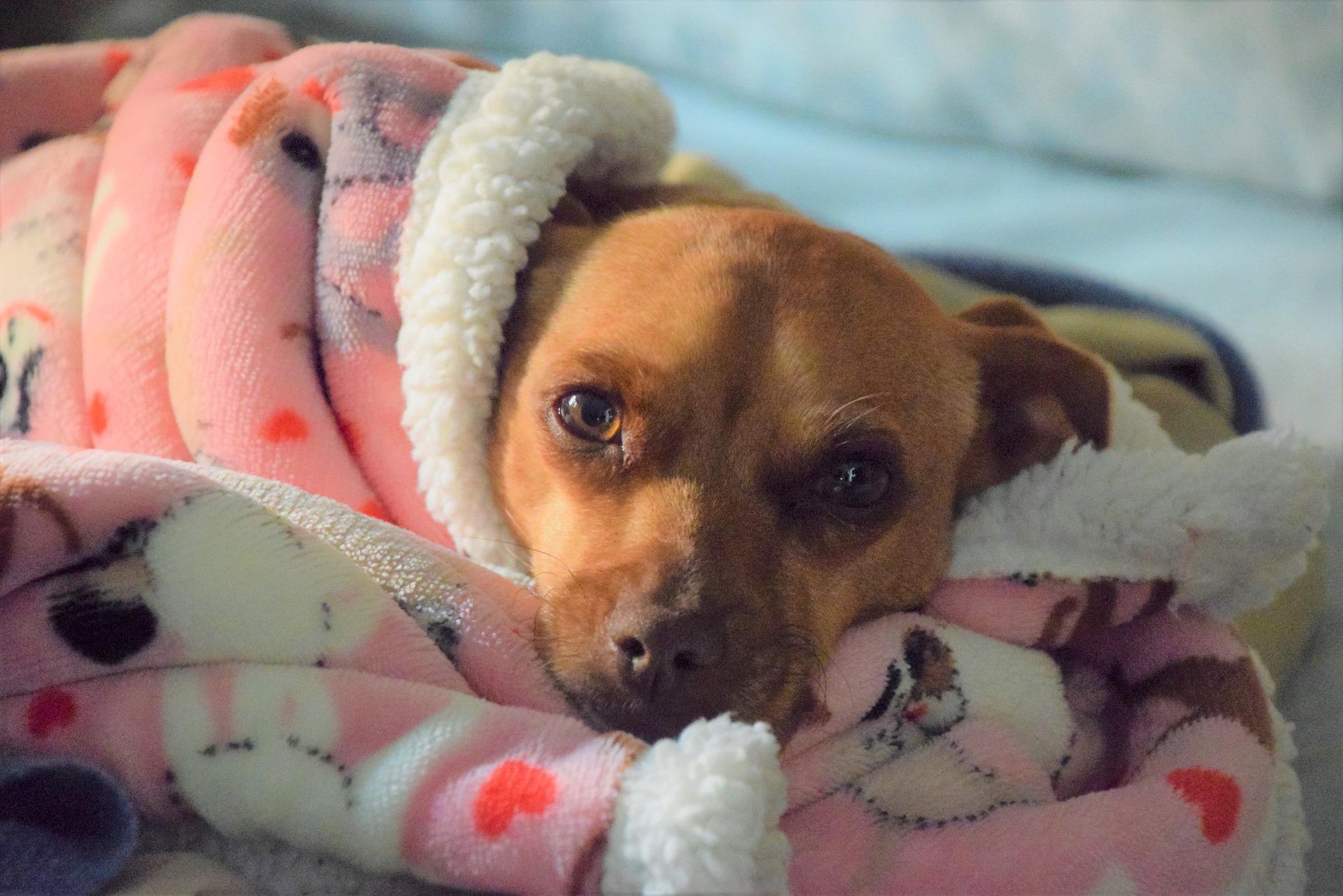 stérilisation chien