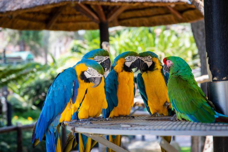 perroquet parler