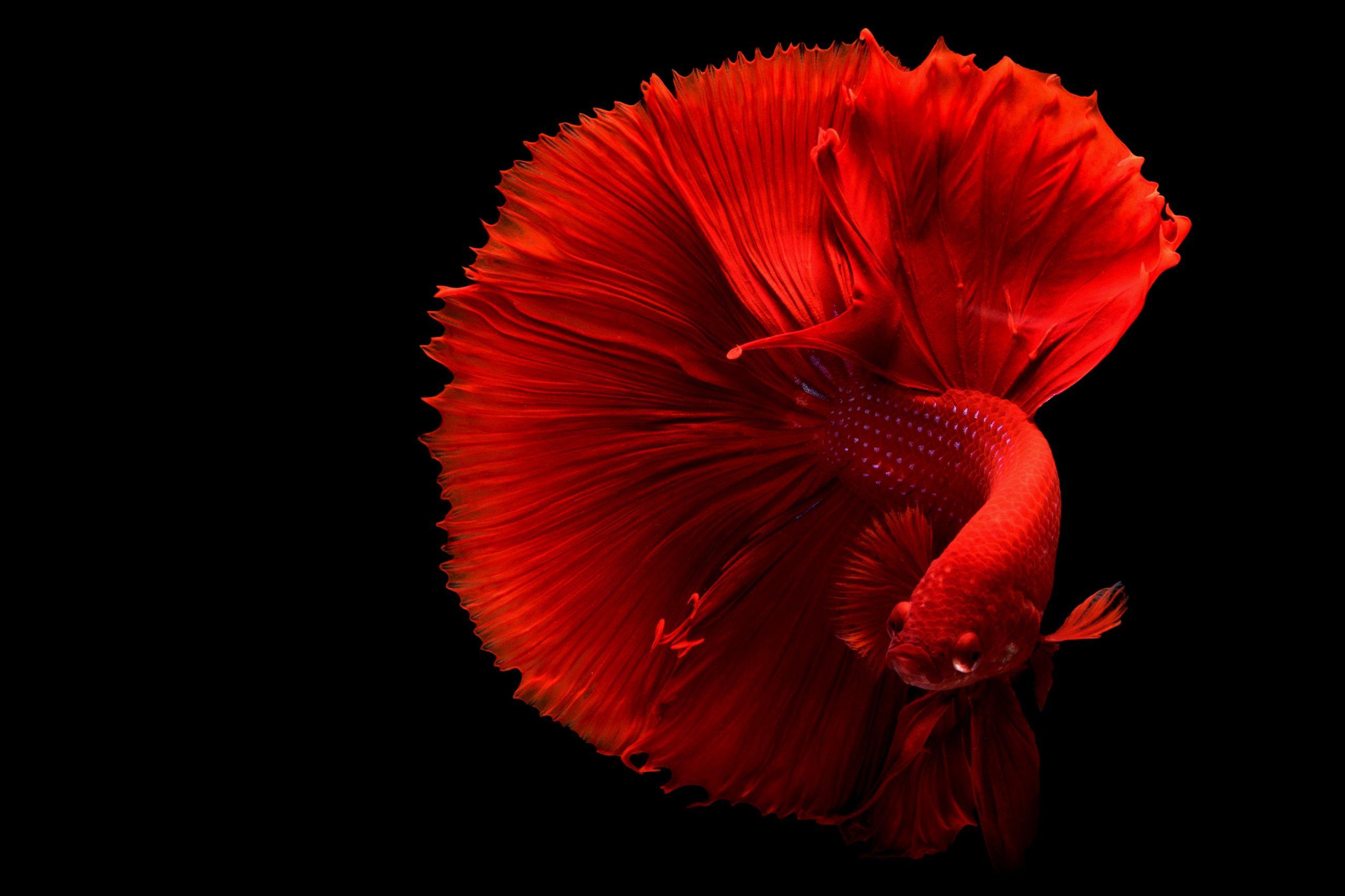 aquarium combattant