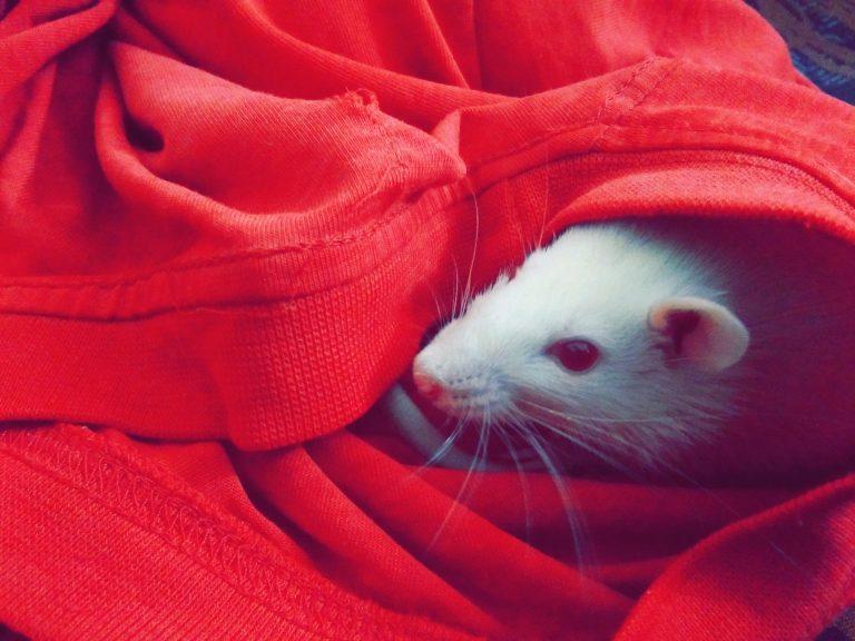 maladie rat
